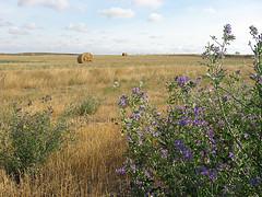 Alfalfa para adelgazar