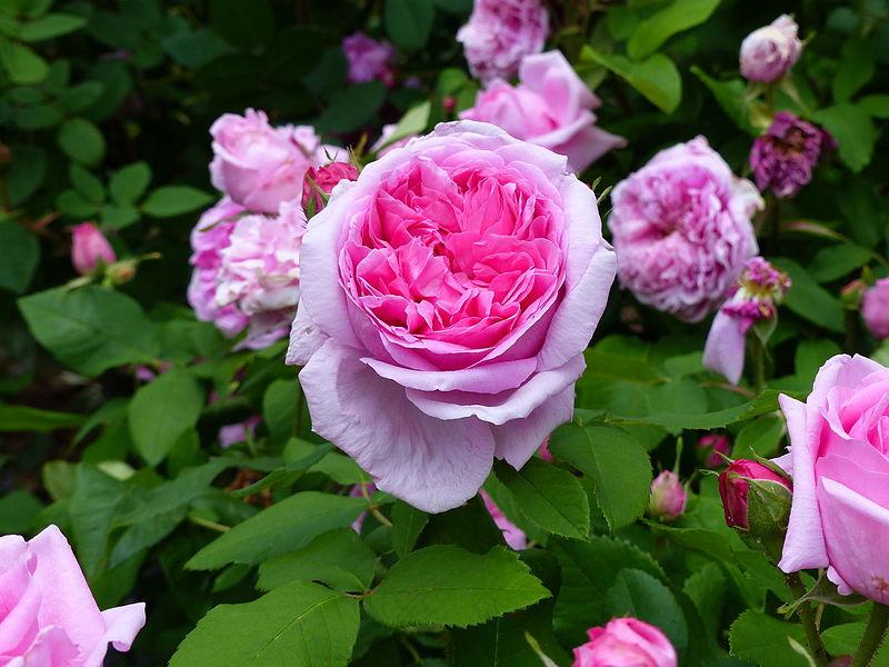 Beneficios del agua de rosas para adelgazar - aPerderPeso.com