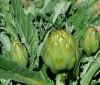 ¿Las inyecciones de alcahofa son peligrosas para la salud?