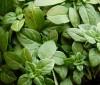 Propiedades de la planta de albahaca para adelgazar