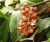 Propiedades del guaraná para adelgazar