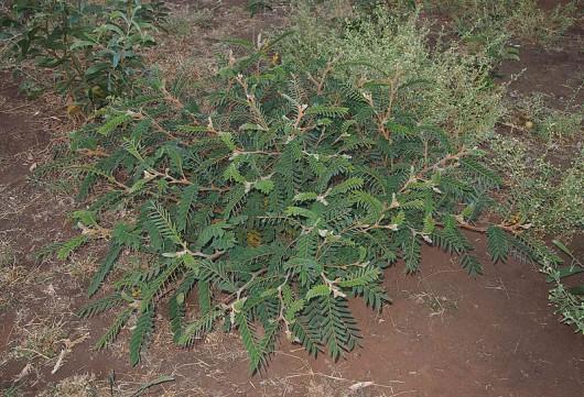 hojas-de-sen